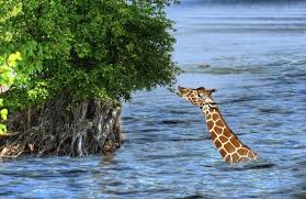 Can do Giraffe